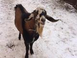 Продам козла нубийской породы